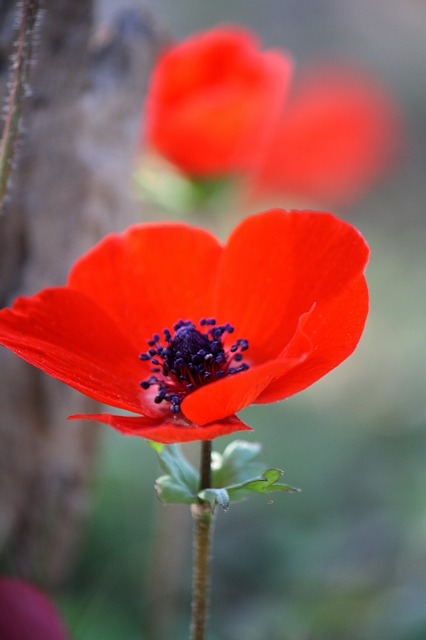 Anemone Flower ~ 10 Most Common Flowers and Their Meanings ~ https://facthacker.com/most-common-flowers-and-their-meanings/