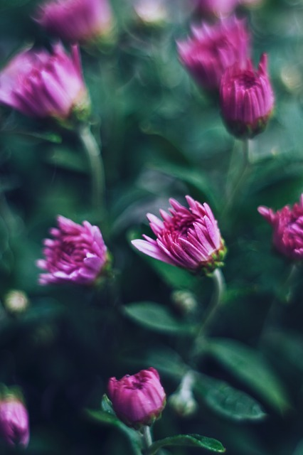 Chrysanthemums ~ 10 Most Common Flowers and Their Meanings ~ https://facthacker.com/most-common-flowers-and-their-meanings/