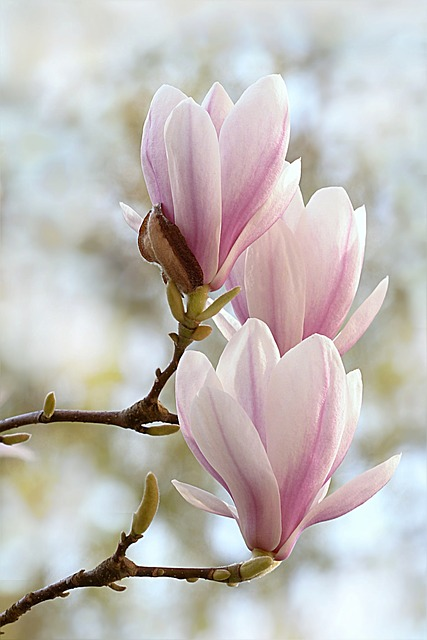 Magnolia ~ 10 Most Common Flowers and Their Meanings ~ https://facthacker.com/most-common-flowers-and-their-meanings/