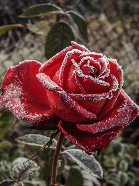 Red rose covered in frost ~ 10 Most Common Flowers and Their Meanings ~ https://facthacker.com/most-common-flowers-and-their-meanings/